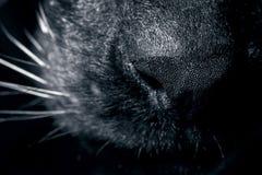 Cat Muzzle Close Up royaltyfri foto
