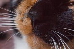 Cat Muzzle Close Up tricolor katt f?r n?sa i n?rbild d?ggdjurs- husdjur med l?nga morrh?r royaltyfri bild