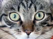 Cat Muzzle ser han dig Arkivbilder