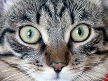 Cat Muzzle, sta esaminandovi Immagini Stock