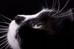 Cat muzzle with white whiskers Royalty Free Stock Photography