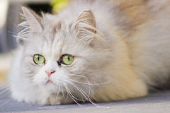Cat. This is the cat of my cousin Royalty Free Stock Image