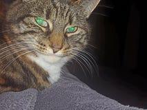 Cat Nanou aggitated Arkivbilder