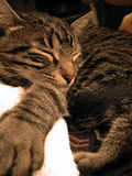 Cat Nap. Feline napping on sofa back stock image