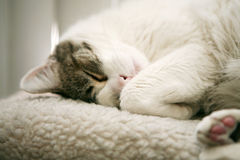 Cat nap royalty free stock image