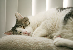 Cat nap. A close-up of a tabby cat takes a nap on a wool perch Royalty Free Stock Images