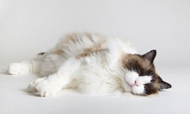 Cat Nap. Shot of Siamese Rag-doll Cat taking a cat nap Stock Image