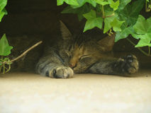 Cat Nap. A cat takes a nap in the cool shade under a leafy bush stock images