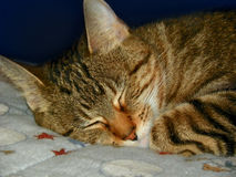 Cat Nap Imagem de Stock