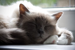 Cat Nap Royalty Free Stock Photos
