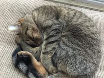 Cat Nap Immagini Stock
