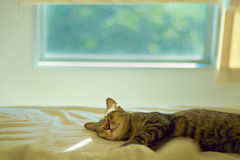 Cat nap on bed. Kitten sleeping in bed by a window with trees Stock Photography