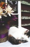 Cat Nap Stock Photography