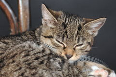 Cat during nap Royalty Free Stock Photography