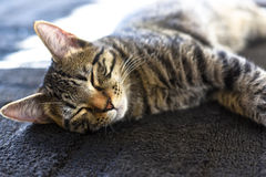 Cat Nap/tempo sonnolento Immagini Stock