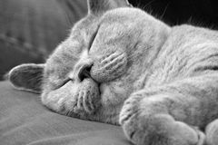 Cat napping. Black and white photo of a beautiful pedigree british shorthair cat fast asleep on her favourite sofa Royalty Free Stock Images