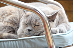 Cat napping. Photo of a beautiful pedigree british shorthair cat having a nap on her favourite garden chair royalty free stock photo