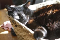 Cat napping in a basket. A contented black cat melds with a basket bed, basking in the dappled sunlight streaming through a bedroom window Royalty Free Stock Images