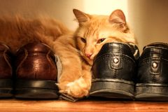 Cat napping on brown and black shoes. A tabby cat is snuggled up against brown and black leather shoes Royalty Free Stock Photos