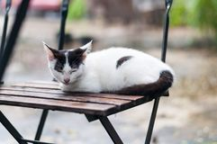 Cat napping on a chair. White cat with black spots crouch  and fall asleep on a wooden chair outdoor in a garden under tree shade Stock Images