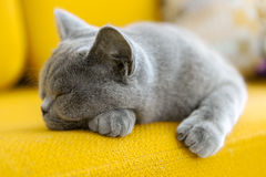 Cat napping Royalty Free Stock Photo