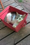Cat Napping. This guy is worn out after showing off all day with his smiles and tricks. He has found a new red basket just his size on his porch to nap in Royalty Free Stock Image