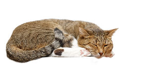 Cat napping. Isolated on white Stock Images