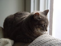 Cat napping near a window. Gray tabby napping in the window Royalty Free Stock Image