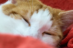 Cat napping. Portrait of a young ginger tom cat  having an afternoon nap with its eyes tight shut and a paw on its forehead Stock Images