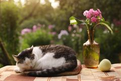 Cat napping sleep with flox flowers in vase. On summer garden background Stock Photography