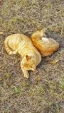 Cat napping. Two orange tabby cats together snuggling sleeping pets felines lazy outside outdoors friends grass Stock Photos