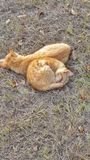 Cat napping. Two orange tabby cats together snuggling sleeping pets felines lazy outside outdoors friends grass Stock Photo