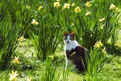 Cat and narcissus royalty free stock photo