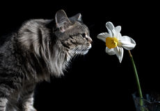 Cat and Narcissus Stock Image