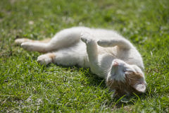 Cat in nature. Little kitten lying and playing in green grass in summer Stock Images