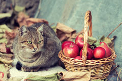 Cat near basket with apples Stock Photo