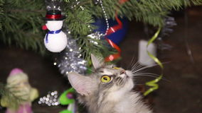 Cat near the Christmas tree. Domestic cat playing with ribbons of Christmas tree decorations stock video