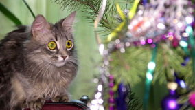 Cat near the Christmas tree stock video