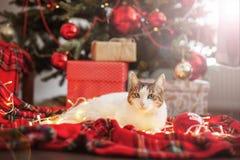 Cat near christmas tree royalty free stock image