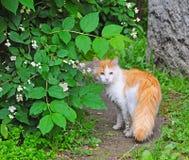 Cat near jasmine bush Royalty Free Stock Photography