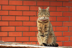 Cat near a red brick wall Stock Images