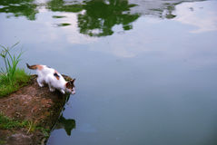 Cat near a river. A cat siting near a river, look at his inverted image in the river Stock Photos