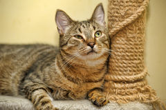 Cat near scratching  posts Stock Images