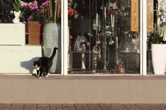Cat near the shop window. Black and white cat meowing near the shop window Stock Photos