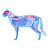 Cat Nervous System - Felis Catus-Anatomie - lokalisiert auf Weiß Stockfotografie