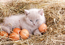 Cat in nest with eggs. Stock Photography
