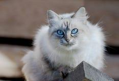 Cat Nevsky masquerade. Stock Photos
