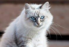 Cat Nevsky masquerade. Royalty Free Stock Photo