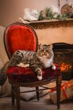 Cat, new year holidays, christmas, christmas tree, on a chair by the fireplace Royalty Free Stock Photo