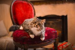 Cat, new year holidays, christmas, christmas tree, on a chair by the fireplace Royalty Free Stock Image